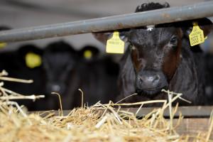 linden14 calves 4935