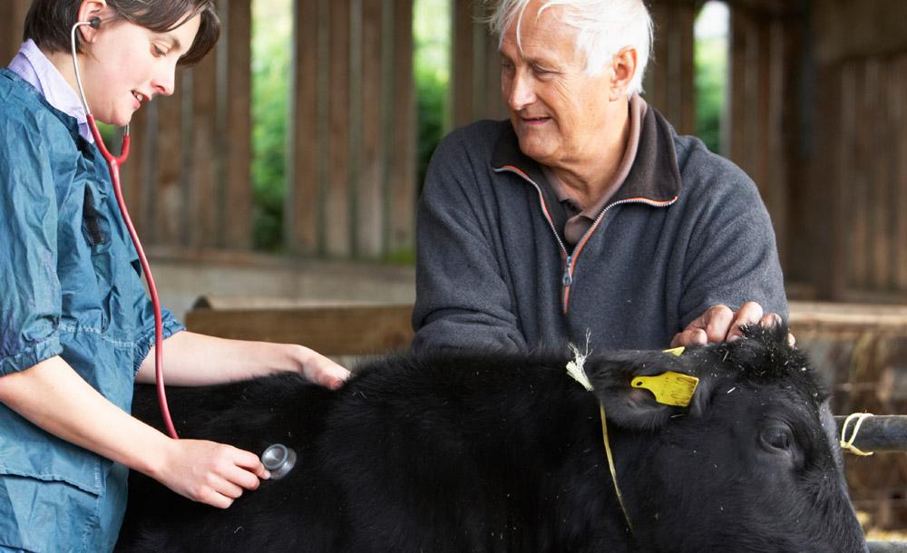 Farmer With Vet Examining Calf